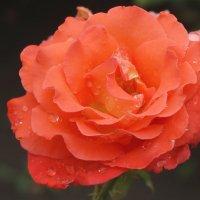 Роза аллая в капельках дождя... :: Тамара (st.tamara)