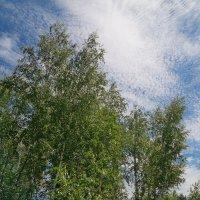 Берёзки смотрят в небо :: Андрей Заломленков