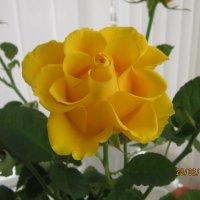 Розы. розы, розы... :: татьяна
