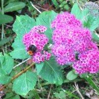 На спирее пчёлка трудится :: Дмитрий Никитин
