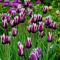 Тюльпаны :: Владимир Брагилевский