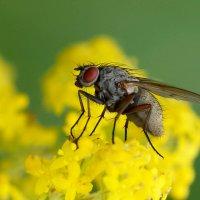 Серая  муха :: Геннадий С.