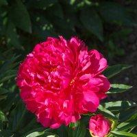 « Пионы буйно расцвели Малиновым шикарным цветом….» :: Андрей Нибылица
