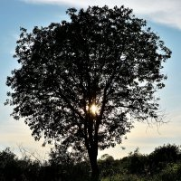 Дерево :: Александр (Алчи) Шерстнёв