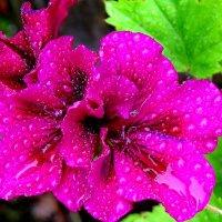 Пеларгония ,умытая дождём :: Светлана Петошина