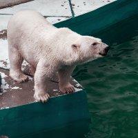 Белый медведь :: Марк