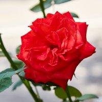 Красная роза :: Николай Николенко