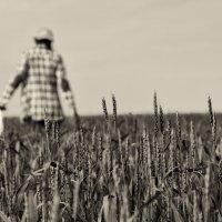 пшеничное поле :: Сергей Резниченко
