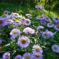 садовые ромашки :: Надя Попова