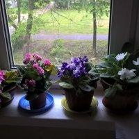 Мои цветы в доме :: Елена Семигина