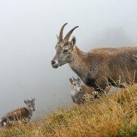идет коза рогатая с малыми ребятами :: Elena Wymann