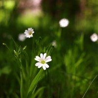 Весенний цветок :: Вячеслав Ложкин