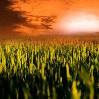 пшеница :: Arsy Arsy