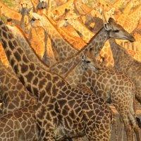 Жирафы.Длиношеее животное. :: Лариса Борисова