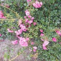 Розовый куст :: Мила
