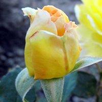 Роза :: Агриппина