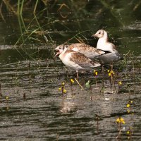Слётки чайки озерной :: Татьяна Губина