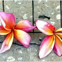 Упавшие цветы плюмерии :: Герович Лилия