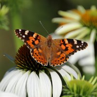 бабочка :: Людмила Кузив-Ершова