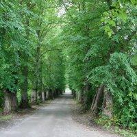 Ала Кирьола - балтийская усадьба семьи Нобель. Липовая аллея :: Елена Павлова (Смолова)