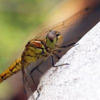 Dragonfly :: Олег Шендерюк
