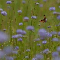 бабочка :: Сергей Калистратов