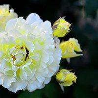 Ах. эти дивные цветы... :: Юрий Пожидаев