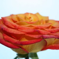 роза на белом фоне :: Александр Иванов