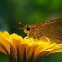 Бабочка на цветке :: Оксана Лада
