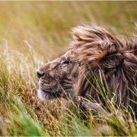 Владыка прайда...Вдыхая утренние ароматы саванны...Танзания! :: Александр Вивчарик
