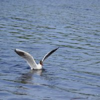 Опять я вижу белых чаек над водой :: Tatyana Nemchinova