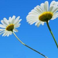 Очаровашки-белые ромашки! :: Swetlana V