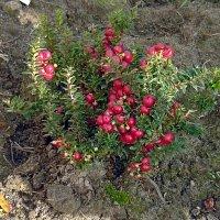 Декоративные ягодки :: Вера Щукина