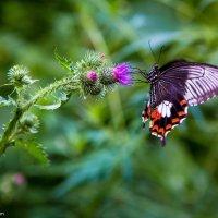Бабочка :: Максим Коломыченко