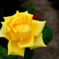 Цветы моего сада. Роза :: Юрий Пожидаев