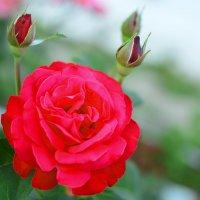 Цветы моего сада. Роза. :: Юрий Пожидаев