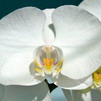 Орхидея снова расцвела :: Александр