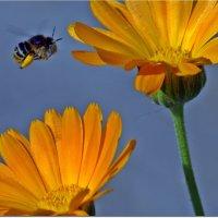 С цветка на цветок :: Вячеслав Минаев