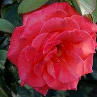 Июль,вечер,роза... :: Тамара (st.tamara)
