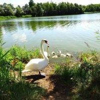 Первая лебединая семья спустя десять дней :: Маргарита Батырева