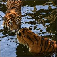 Тигры. :: ALLA Melnik