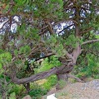 Ствол реликтового дерева :: Вера Щукина