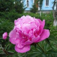 Розовый пион. :: Чария Зоя