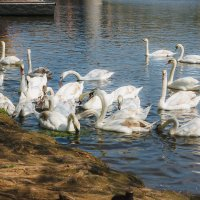 Лебеди в Праге :: Алексей Морозов