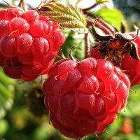 ягода-малина :: Irina