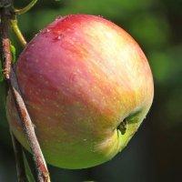 Румяное яблочко :: Татьяна Смоляниченко
