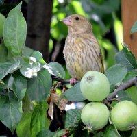 Зеленушка и яблочки. :: Hаталья Беклова