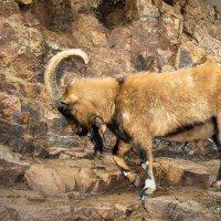 Горный козел (золотое копытце) :: Александр Ковальчук