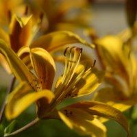 Желтая лилия :: Олеся