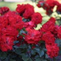 розы :: Вера Ярославцева